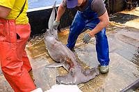 Fishermen capture scalloped hammerhead shark, Sphyrna lewini, offshore commercial longline shark fishing, Brazil, Atlantic Ocean