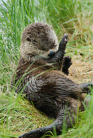 River Otter resting and grooming on grassy log in lake.  Western U.S.