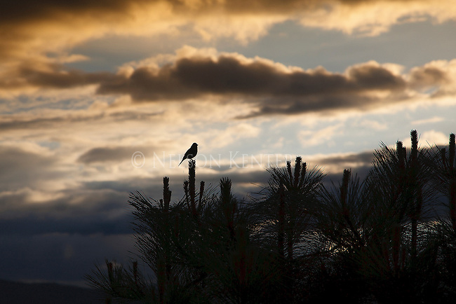 silhouette of a sparrow sitting on top of tree at sunset in missoula, montana