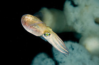 Stubby Squid, Rossia pacifica, a subspecies of bobtail squid from the North Eastern Pacific Ocean Vancouver Island, British Columbia, Canada