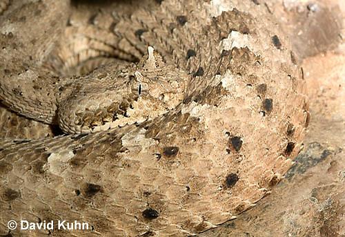 0518-1106  Sidewinder Rattlesnake (Horned Rattlesnake), Crotalus cerastes  © David Kuhn/Dwight Kuhn Photography