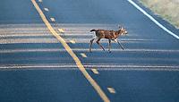 A fawn follows its mother across a road on San Juan Island.