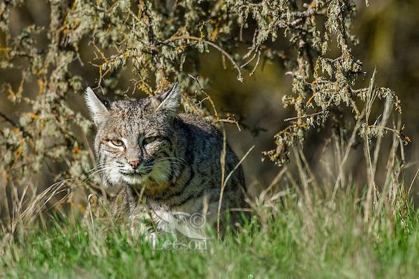 Wild Bobcat (Lynx rufus) in Central California.  December.  (Completely wild, non-captive cat.)