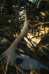 Great Blue Heron displaying