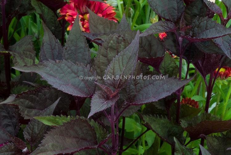 Eupatorium rugosum 'Chocolate' (Ageratina altissima 'Chocolate') dark foliage Joe Pye Weed
