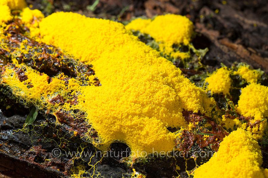 Gelbe Lohblüte, Hexenbutter, Schleimpilz, auf Totholz, Fuligo septica, Sulphur Slime Fungus, Myxomycetes