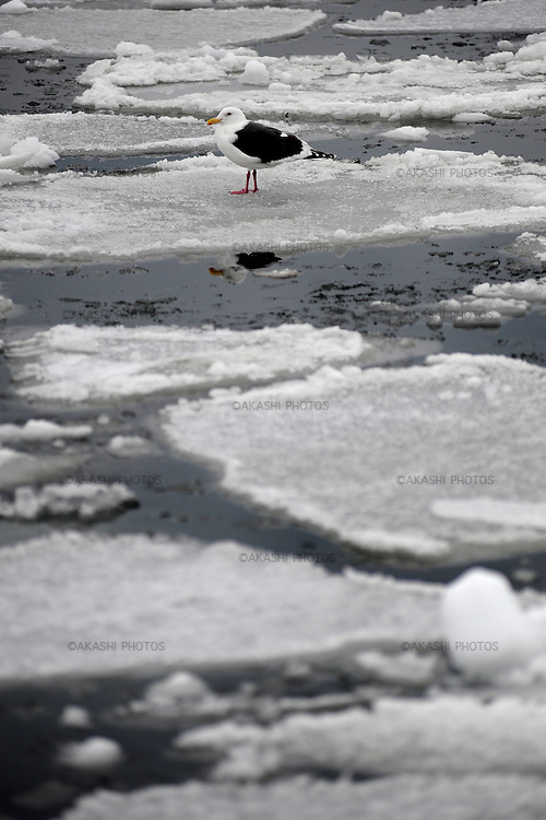 A seagull standing on a piece of ice. Harbour full of floating ice in the Rausu coast. Hokkaido. Japan.