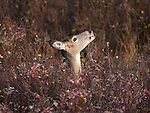 Whitetail doe feeding on brush