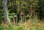 Gray wolves, Canada