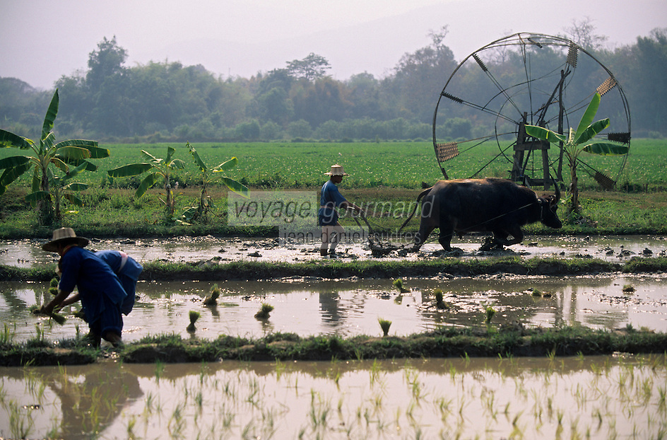 Asie/Thaïlande/Env de Chiang Mai : Paysans et buffle au travail dans les rizières