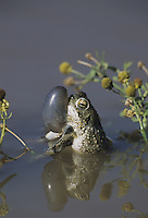 Texas Toad (Bufo speciosus), male calling sac inflated, Starr County, Rio Grande Valley, Texas, USA