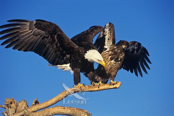 Bald Eagles--mature and immature--squabbling over perch.  Alaska.