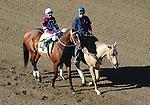 February 12, 2012.Tapizar riden by Garrett Gomez in the post parade before The Robert B. Lewis Stakes at Santa Anita Park, Arcadia, CA..