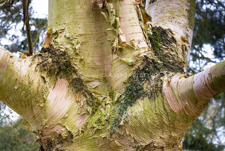 Betula utilis var. jacquemontii trunk bark joint birch tree