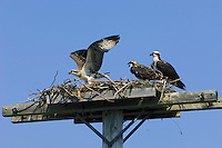 Osprey (Pandion haliaetus) mom on nest built on man-made structure provided to prevent nesting on telephone poles. Two young almost ready to make first flight. Nova Scotia, Canada.