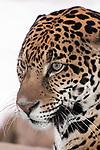 jaguar sitting on large boulder, close-up of face looking left, vertical
