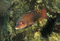 Kuckucks-Lippfisch, Kuckuckslippfisch, Kuckucks - Lippfisch, Weibchen, Labrus bimaculatus, Labrus mixtus, Cockoo Wrasse
