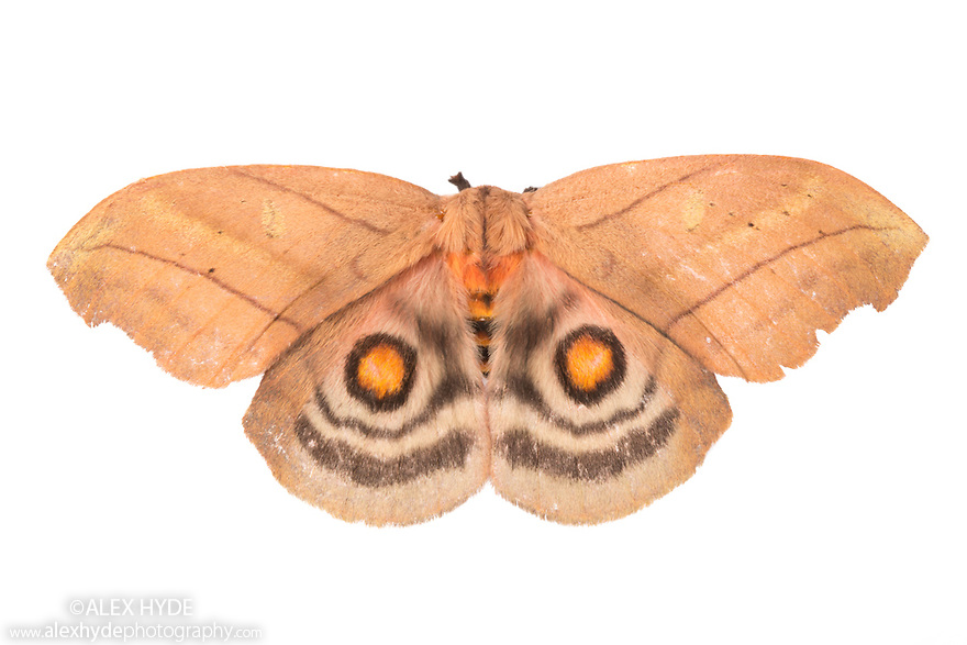 Sequence 2 of 2 -  Saturniid Moth (Saturniidae) with wings open to reveal eyespots, a means of deterring predators. Photographed on a white background in mobile field studio. Cordillera de Talamanca mountain range, Caribbean Slopes, Costa Rica. May.