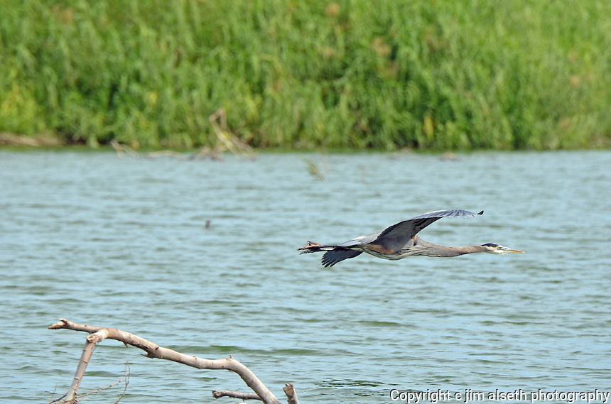 Some of the large waders and flyers of the Los Cabos region included in this gallery are great blue herons, great and little white egrets, ospreys, and brown pelicans.
