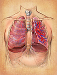 This medical illustration features an editorial image of the anatomy of the male thorax and lungs on a parchment textured background. The left lung is shown in cut-section offering a view of the internal anatomy.