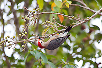 Golden-fronted Woodpecker, Tikal, Peten, Guatemala