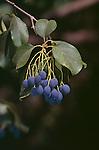 9462-CA Chinese Fringe Tree, fruit, foliage, Chionanthus retusus, at Los Angeles Arboretum, Arcadia, CA USA