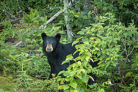 """""""Black Bear""""<br /> <br /> This mother black bear was watching me intently after sending her cubs out of sight with soft grunts.<br /> ~ Day 129 of Inspired by Wilderness: A Four Season Solo Canoe Journey"""