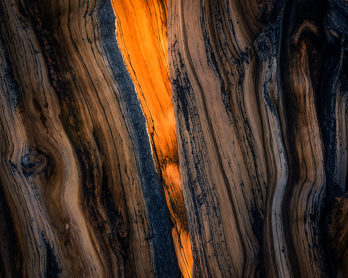 The light glows from within the trunk of an old bristlecone in California's White Mountains.