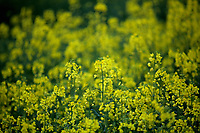 WEATHER PICTURE ENGLAND<br /> A rape seed field near Sheffield in England, UK. Monday 17 April 2017