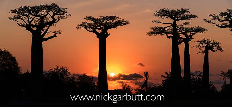 Grandidier's baobabs (Adansonia grandidieri) at sunset, near Morondava, western Madagascar. (stitched image)