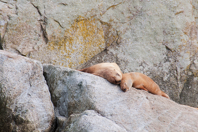 Two sea lions resting in Kenai Fjords National Park. It's easy to see them as a happy couple.