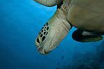 Head of green sea turtle (Chelonia mydas)