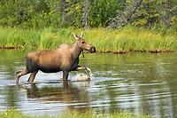 Cow moose in tundra pond in the Alaska mountain range, Interior, Alaska.