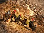 Italy, South Tyrol (Trentino - Alto Adige), Gader Valley, hamlet Tolpei in Old-La Valle: animal welfare - loose hen and rooster | Italien, Suedtirol (Trentino - Alto Adige), Gadertal, Weiler Tolpei  in Alt-Wengen (La Valle): glueckliches Federvieh durch artgerechte Haltung - freilaufende Huehner und Haehne