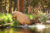 A magnificent bull elk in full velvet pauses from grazing summer's lush bounty for a refreshing dip in a cool stream.