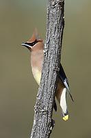 Cedar Waxwing (Bombycilla cedrorum) perching on a branch at Perch Dam State Park, Caballo, New Mexico