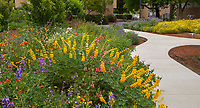 Lupinus microcarpus ssp. densiflorus Golden Chick Lupin in wildflower flower beds of California natives planted by cement walkways on campus of University of California Davis Arboretum drought tolerant garden