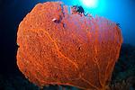 Gorgonian seafan, Subergorgia sp., Layang Layang atoll, Sabah, Malaysia, South China Sea, Pacific Ocean