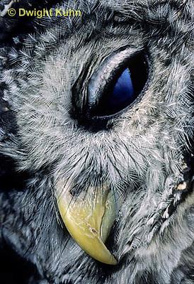 OW01-045z  Barred owl - showing eyes and beak - Strix varia