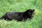Brazil. Black Jaguar 'Onca'; Panthera onca.