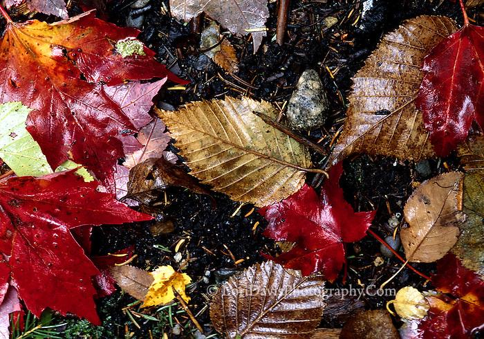 Fallen Autumn Leaves  #N3