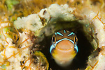 Bluestriped Fangblenny in a worm hole,.Plagiotremus rhinorhynchos