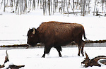 Bison in the Snow, Tangled Creek, Yellowstone National Park, Wyoming