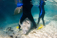 Florida Manatee, Trichechus manatus latirostris, A subspecies of the West Indian Manatee. A playful manatee interacts with snorkelers near the Three Sisters Sanctuary. Crystal River, Florida. No MR