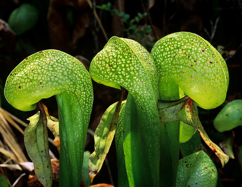 Darlingtonia californica or Cobra lily. Darlingtonia Wayside, Oregon.