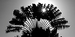 Sun shine through a palm tree