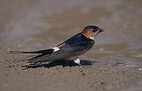 Red-rumped Swallow, Hirundo daurica, adult collecting nesting material, Samos, Greek Island, Greece, Europe