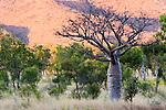 Boab or Australian baobab, Kimberley, Western Australia