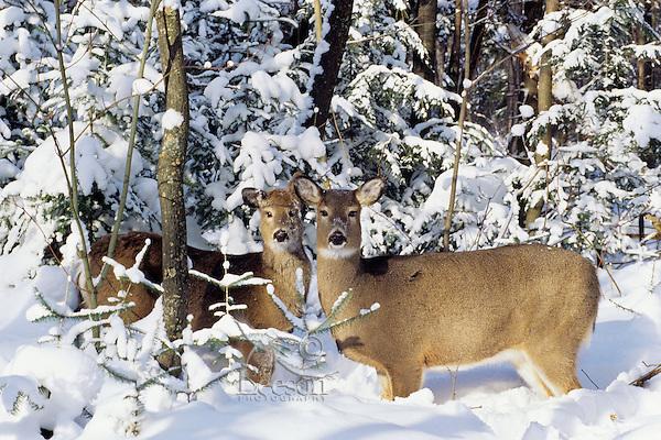 White-tail deer does (Odocoileus virginianus)