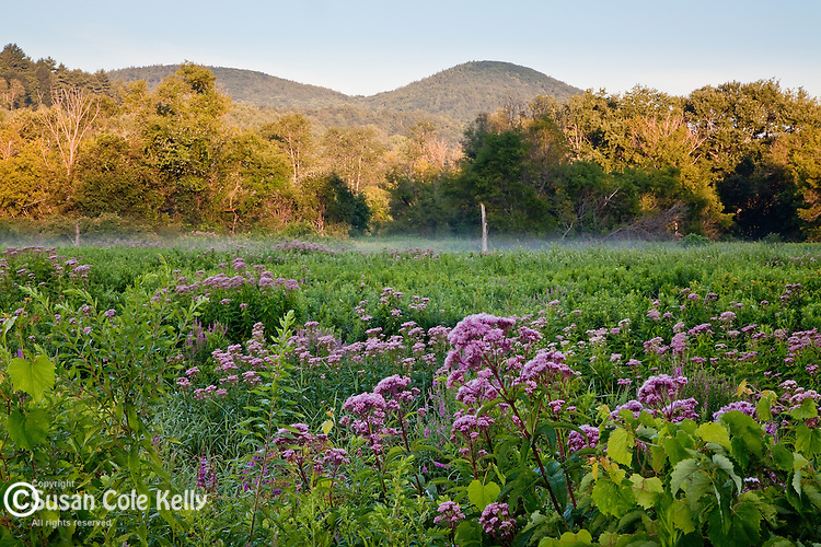 Wildflowers in Hop Brook WMA in Tyringham, MA, USA